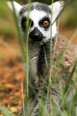iPhone Wallpaper Lemur in grass, look at you