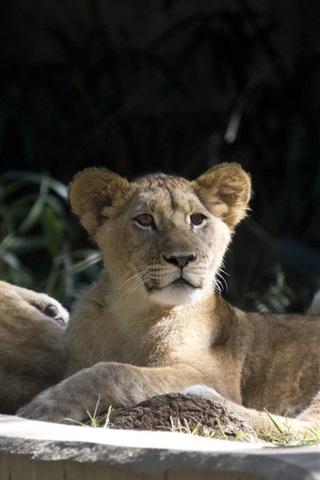 iPhone Wallpaper Lion cubs, wild cats