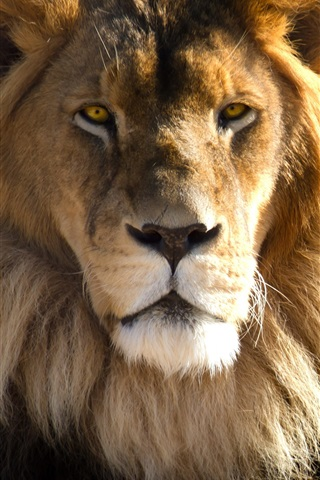 iPhone Wallpaper Lion face, head, look, predator