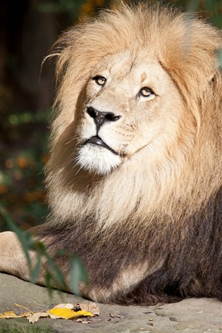 iPhone Wallpaper Lion rest, stone, wildlife