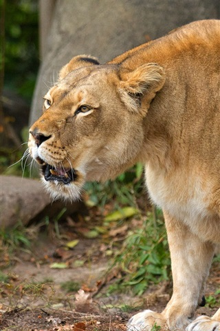 iPhone Wallpaper Lioness growls, animals photography