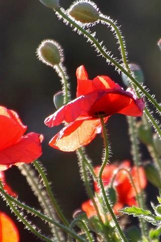 iPhone Wallpaper Poppies, red petals, stem