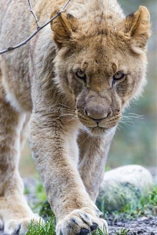 iPhone Wallpaper Predator, young lion walk