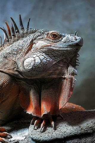 iPhone Wallpaper Reptile photography, iguana close-up, scales