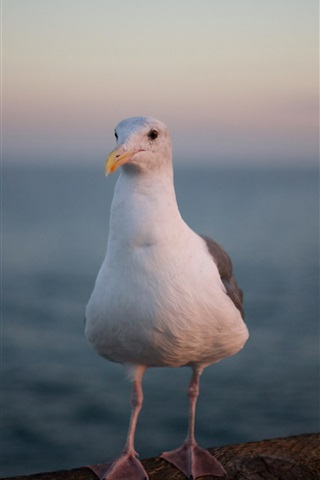 iPhone Wallpaper Seagull close-up, white feather, legs