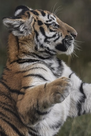 iPhone Wallpaper Tiger cub, predator, standing, paws