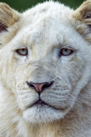 iPhone Wallpaper Two white lions front view