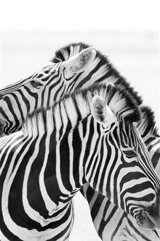 iPhone Wallpaper Two zebras, white and black