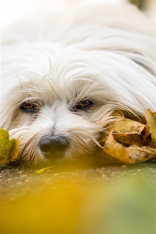 iPhone Wallpaper White dog, rest, road, yellow leaves