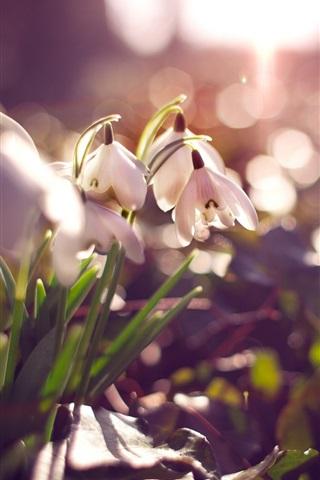 iPhone Wallpaper White snowdrops, flowers, glare