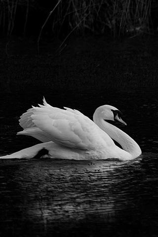 iPhone Wallpaper White swan, pond, black background