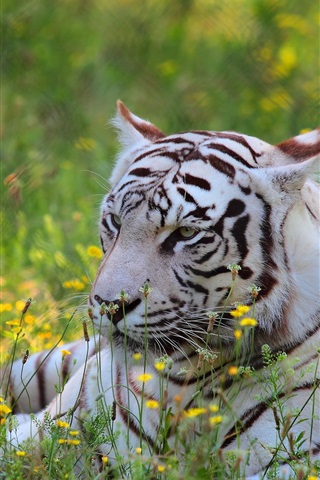 iPhone Wallpaper White tiger, predator, wildflowers