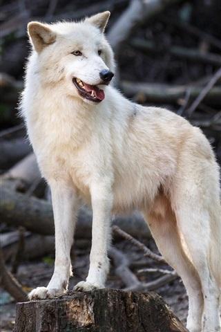 iPhone Wallpaper White wolf, predator, wildlife