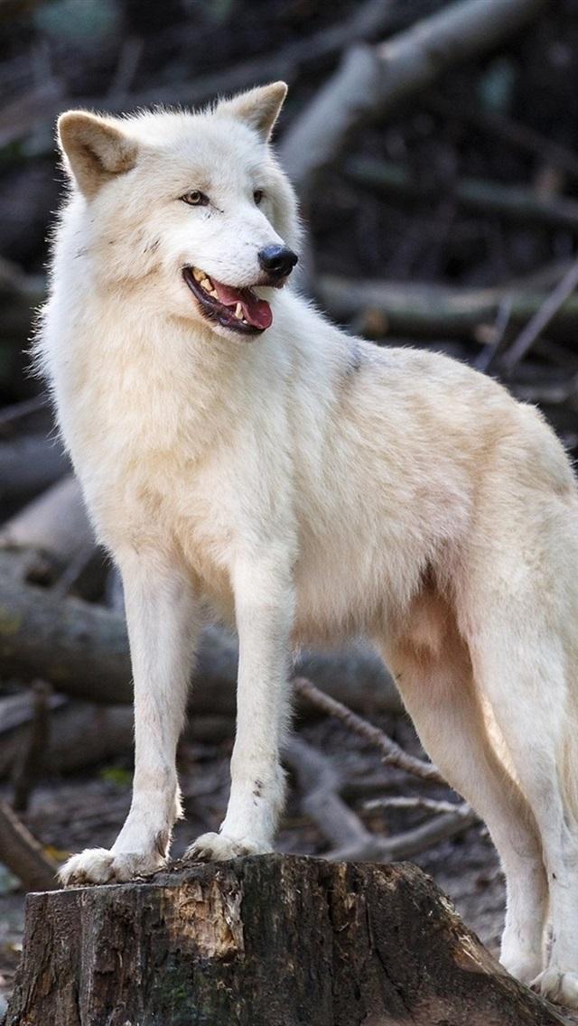 White Wolf Predator Wildlife 640x1136 Iphone 5 5s 5c Se Wallpaper Background Picture Image