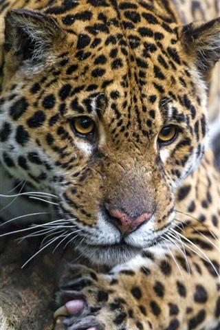 iPhone Wallpaper Wild cat, jaguar, rest, tree
