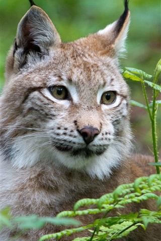 iPhone Wallpaper Wild cat, lynx, face, grass