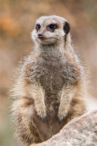 iPhone Wallpaper Wildlife, meerkat standing to look