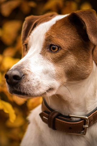 iPhone Wallpaper Autumn, dog, leaves, head