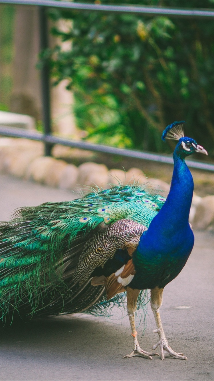 Beautiful Peacock Tail Bird Photography 750x1334 Iphone 8 7 6 6s Wallpaper Background Picture Image