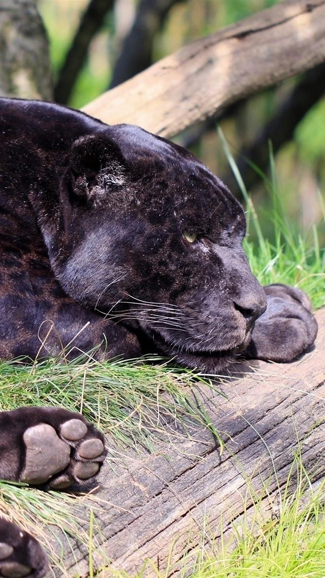 Black Jaguar Panther Predator Rest 750x1334 Iphone 8 7 6 6s Wallpaper Background Picture Image