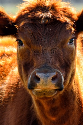 iPhone Wallpaper Brown cow