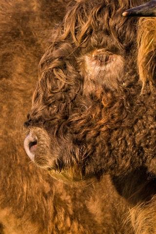 iPhone Wallpaper Buffalo furry fur, face, head