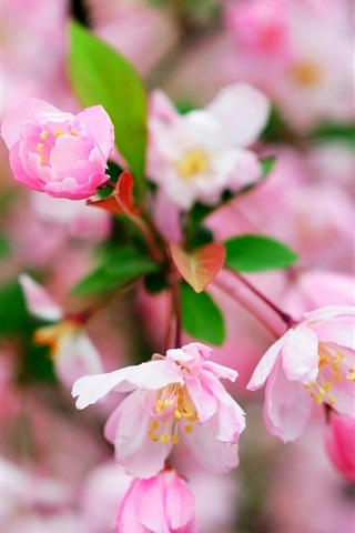 iPhone Wallpaper Cherry flowers macro photography, flowering, spring