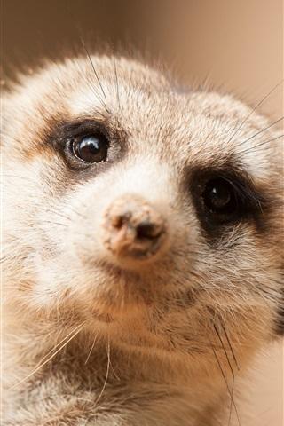 iPhone Wallpaper Cute meerkat look at you, face