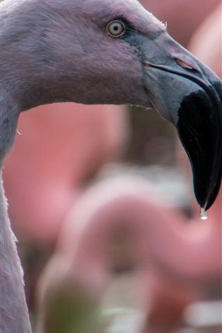 iPhone Wallpaper Flamingo close-up, head, beak