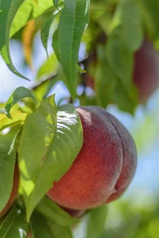 iPhone Wallpaper Fresh peaches, tree, leaves