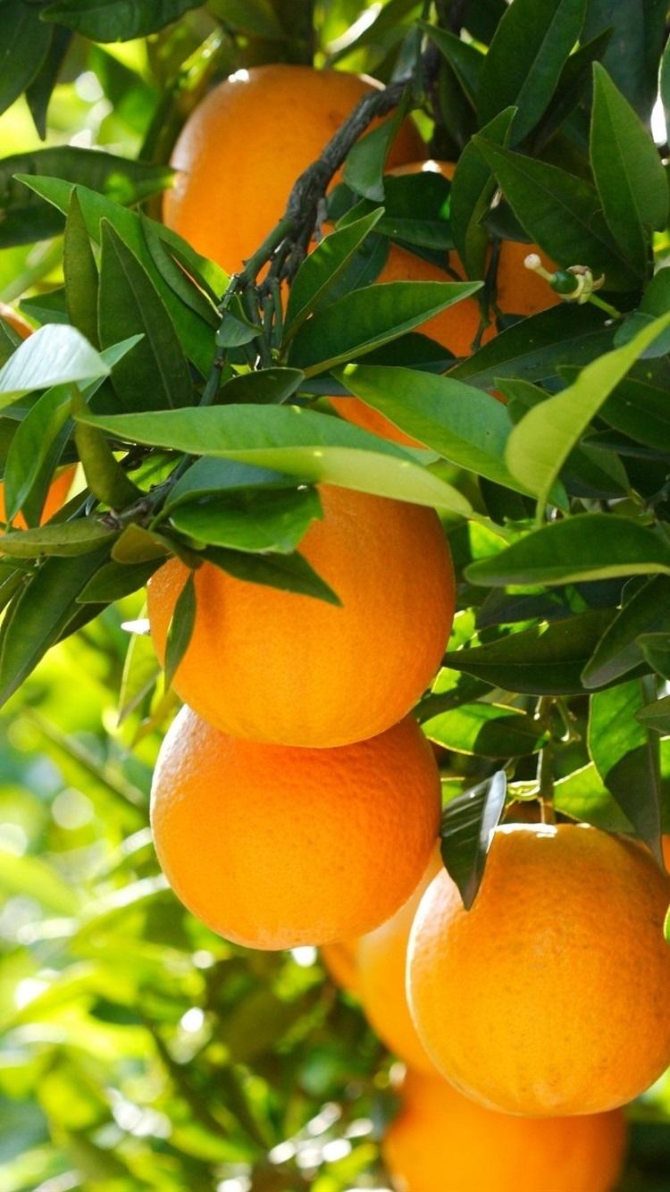 Fruit tree oranges