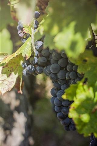iPhone Wallpaper Grapes, foliage, vineyard, fruit