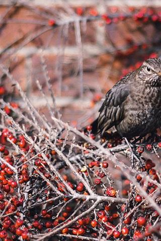 iPhone Wallpaper Gray feather bird, twigs, red berries