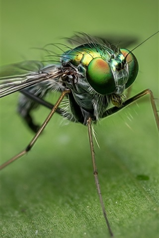 iPhone Wallpaper Insect close-up, housefly, eyes, wings
