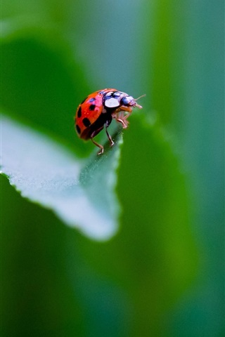 iPhone Wallpaper Insect, ladybug, green background