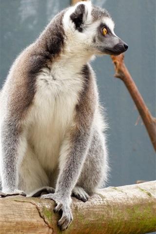 iPhone Wallpaper Lemur sitting at tree branch