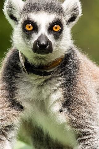 iPhone Wallpaper Lemur stand, look