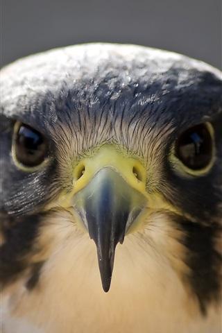 iPhone Wallpaper Peregrine falcon, bird photography, face, head, beak