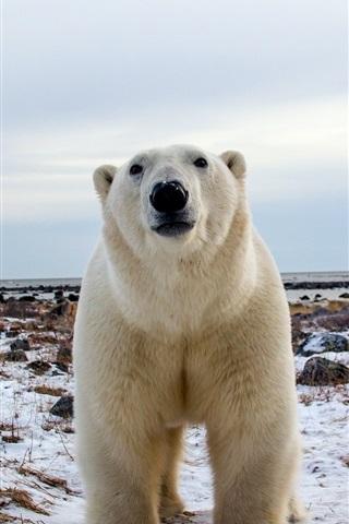 iPhone Wallpaper Polar bear, face, front view, snow