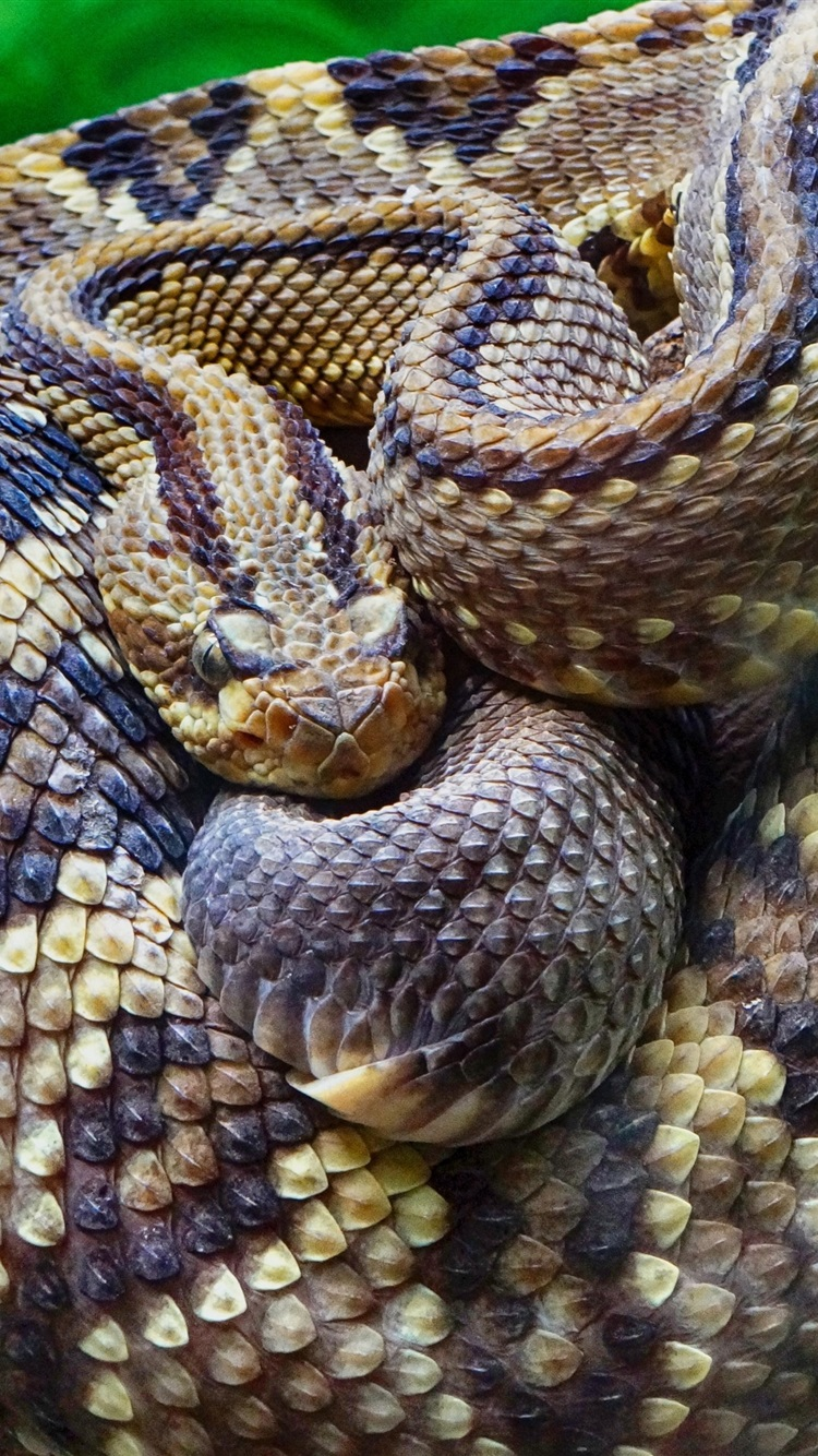 Wallpaper Rattlesnake close-up, snake, scales, tree ...