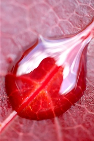 iPhone Wallpaper Red leaf macro photography, water droplets
