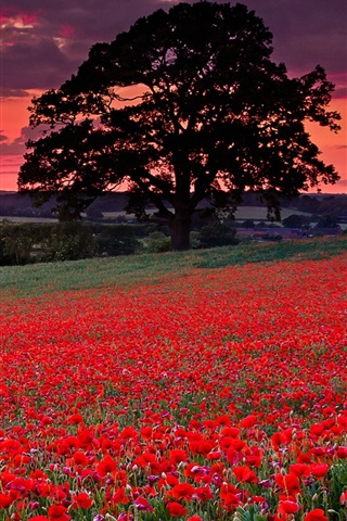 iPhone Wallpaper Red poppies, flowers, trees, clouds, sunset
