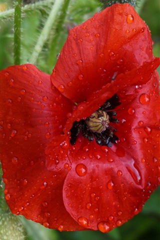 iPhone Wallpaper Red poppy flower, water droplets, petals