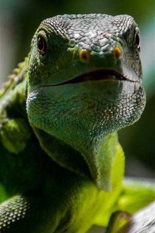 iPhone Wallpaper Reptile lizard close-up, green scales