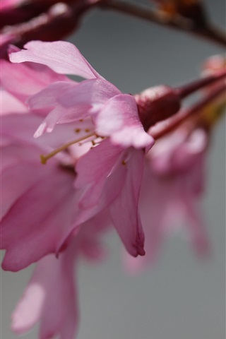 iPhone Wallpaper Sakura blossom, pink flowers, twigs, blurry background