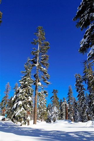 iPhone Wallpaper Spruce forest, trees, winter, snow