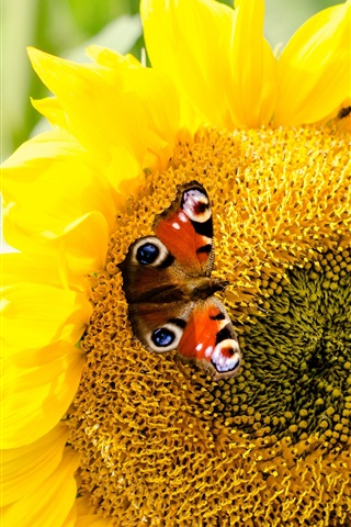 iPhone Wallpaper Sunflower and butterfly, yellow petals