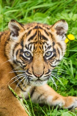 iPhone Wallpaper Tiger cub, grass, Sumatran