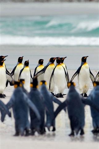 iPhone Papéis de Parede Volunteer Point, Ilhas Malvinas, pingüins-rei