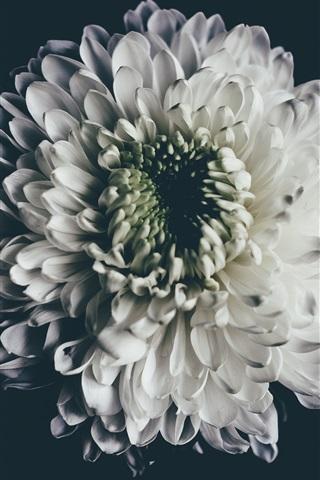 iPhone Wallpaper White aster flower, petals